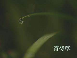 宵待草(PD)