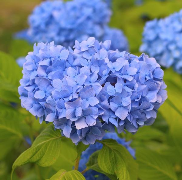紫陽花 - hydrangea