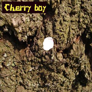 che! Cherry boy