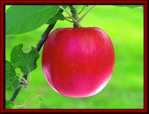 魔法の林檎